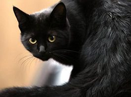 crna macka