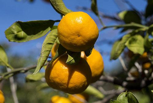 mandarine1