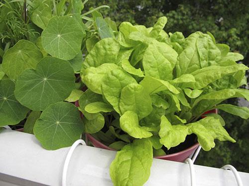 povrce na balkonu1